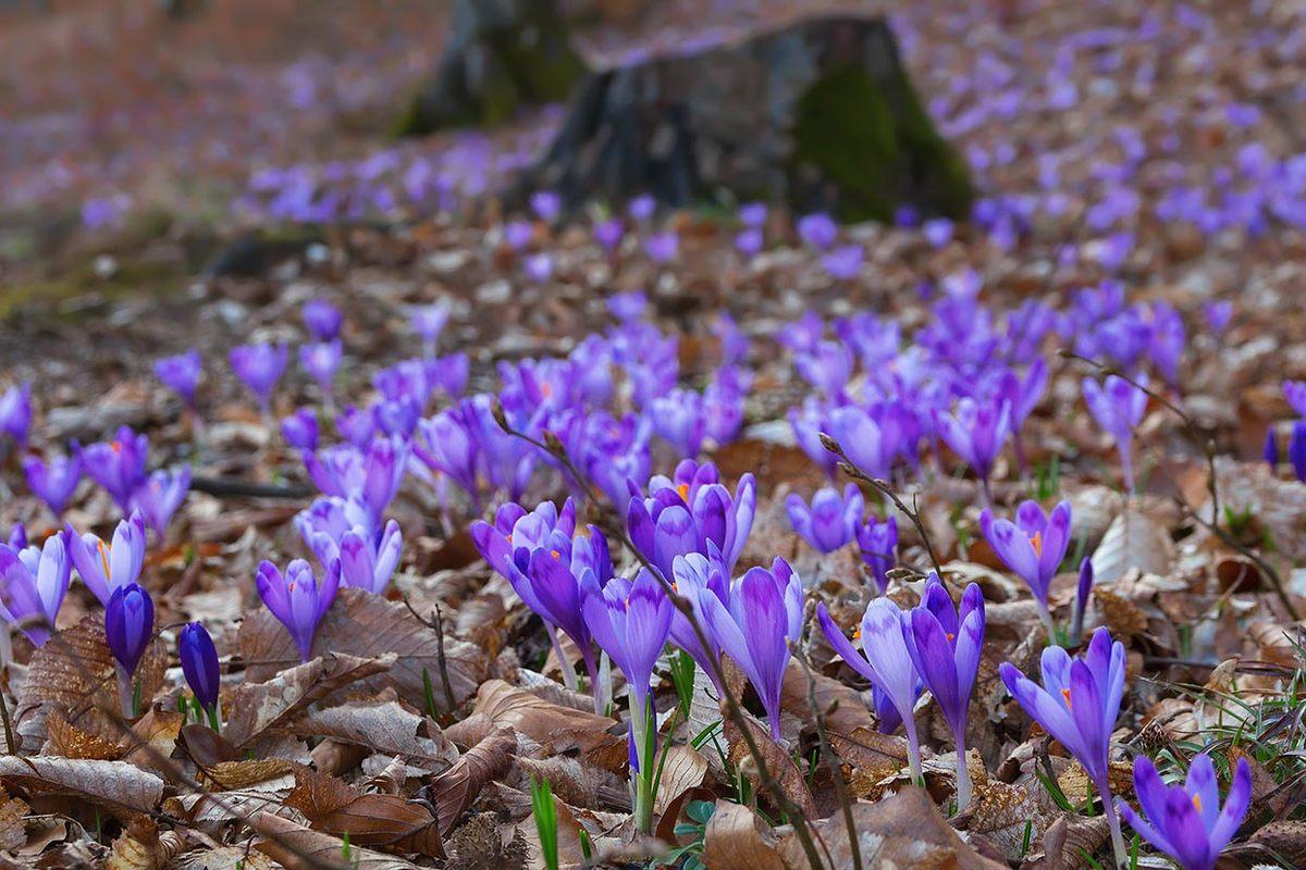 """У дендропарку """"Березинка"""", що біля Мукачева, вже цвітуть шафрани"""