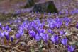 На Мукачівщині вже цвітуть шафрани