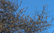 В Ужгороді почала квітнути магнолія