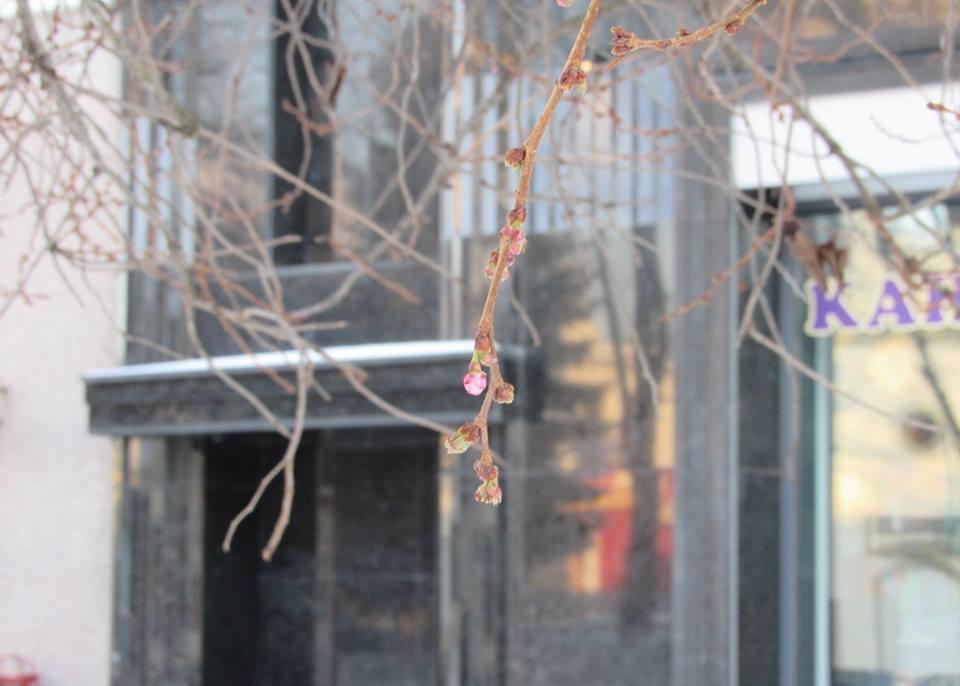 """У Мукачеві на площі Федорова розцвіла """"скажена"""" сакура"""