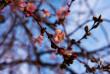 У Мукачеві квітне