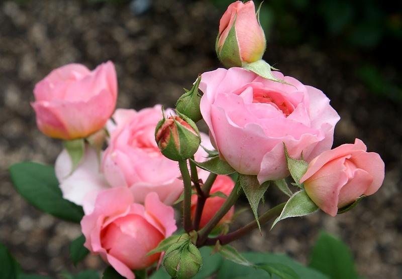 На набережній Незалежності в Ужгороді можуть відновити трояндовий розарій