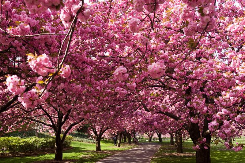 Закарпатські синоптики розповіли, коли в Ужгороді розквітнуть сакури