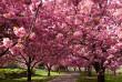 Синоптики розповіли, коли в Ужгороді розквітнуть сакури