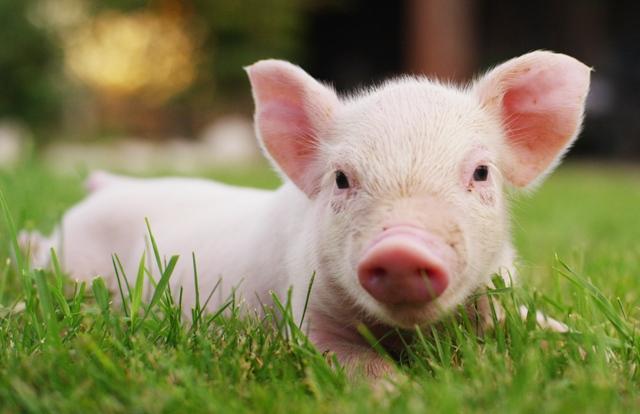 Кумедна історія у Мукачеві: як вибори допомогли чоловіку свиню на ринку купити