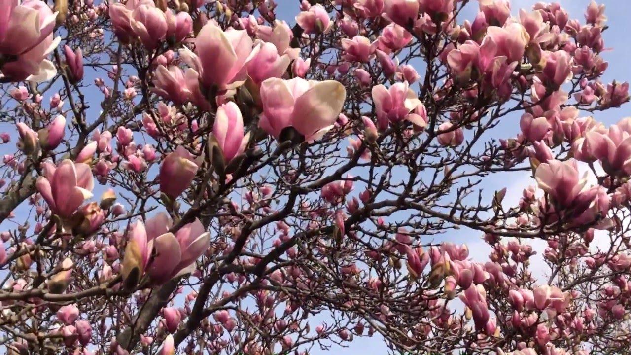 В Ужгороді у ботанічному саду розквітли десятки магнолій