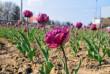 В Ужгороді розцвітають тюльпани