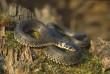 На набережних Ужгорода з'явилися змії