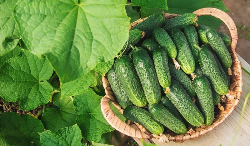 На ринках усієї України продають закарпатські огірки