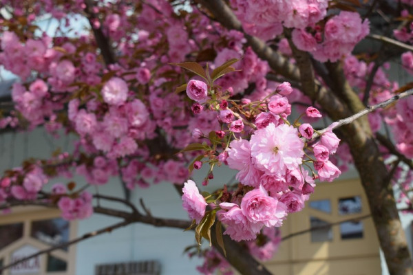 Туристів запрошують в Ужгород милуватися цвітінням сакур