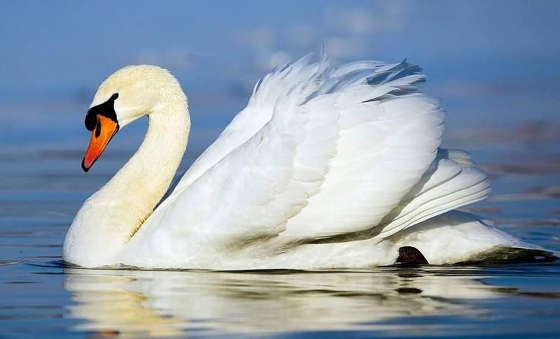 В Ужгороді на озері Кірпічка оселилися лебеді-шипуни
