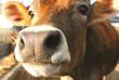 У селі на Мукачівщині підтверджено ще один випадок сказу в корови