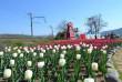 При в'їзді в село Невицьке розквітли тисячі тюльпанів
