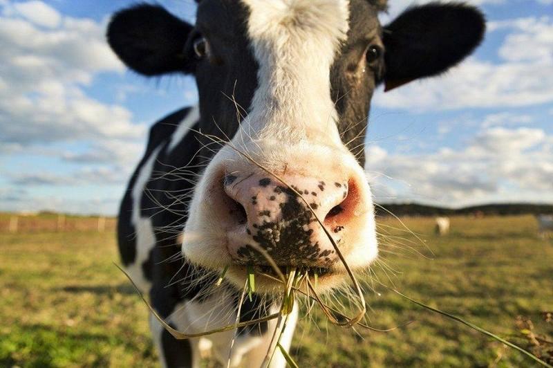 Сказ у селі Станово на Мукачівщині: худобі провели профілактичні щеплення