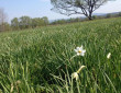 Перші вже розквітли: коли очікують масове цвітіння квітів у Долині нарцисів