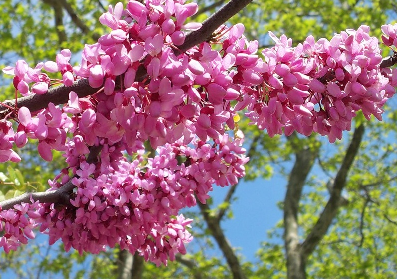 Іудине дерево квітне в Ужгороді у ці дні