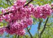 Іудине дерево квітне в Ужгороді