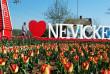 Маленькі Нідерланди на Закарпатті: як тюльпанове поле стало окрасою Невицького