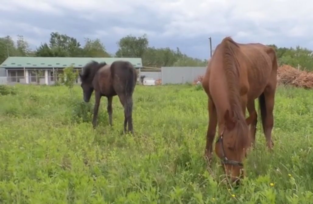 Двох виснажених коней врятували волонтери в Ужгороді