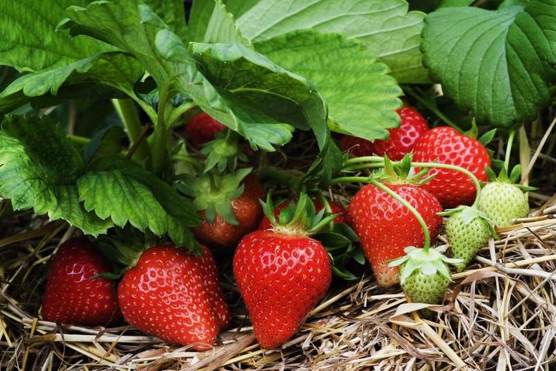 На Закарпатті почали збирати перший урожай полуниці з відкритого ґрунту. Продають по 100 гривень за кілограм