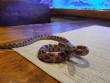 У підвалі багатоповерхівки виявили екзотичну змію