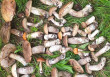 На Ужгородщині чоловік назбирав повний кошик грибів