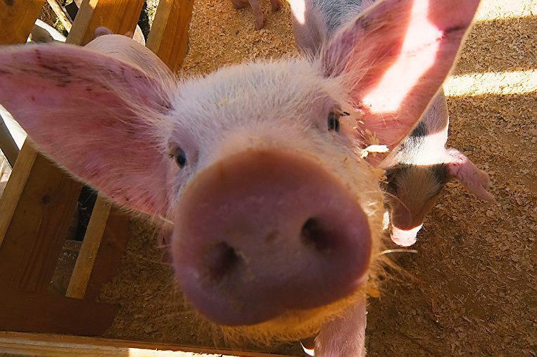 У Закарпатській області посилюють перевірки фермерських і домашніх господарств через поширення африканської чуми свиней в Словаччині й Угорщині