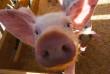 В області посилюють перевірки фермерських і домашніх господарств через поширення африканської чуми свиней