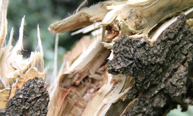 У Берегові вчора на дорогу впало кілька дерев