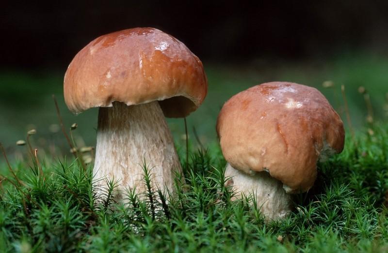 У лісах Закарпаття продовжують збирати гриби. Є чимало білих грибів