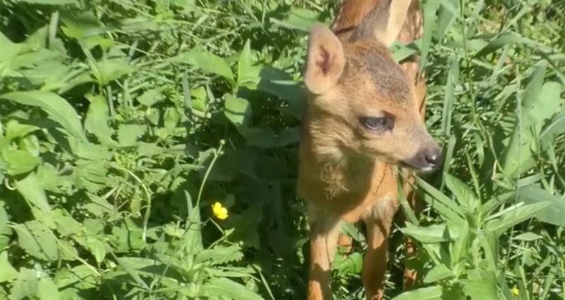 В Ужгороді біля мікрорайону Червениця знайшли маленьку козулю