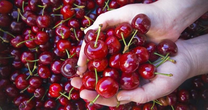 Врожай черешень на Закарпатті зіпсували дощі у травні