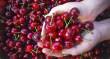 Врожай черешень на Закарпатті зіпсували дощі
