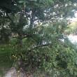 В Іршаві дерево впало на жінку та її двох дітей, – ЗМІ