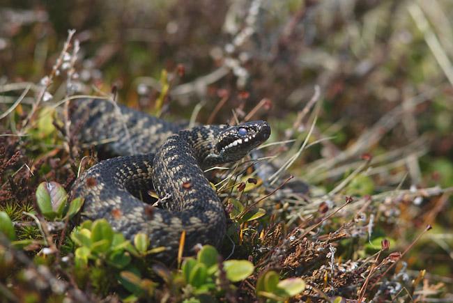 Одразу виникає великий набряк ноги: лікарі розповіли про наслідки укусів змій, які водяться в Україні