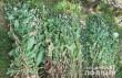 За добу правоохоронці вилучили майже 700 рослин снодійного маку