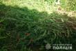 У селі на Мукачівщині в місцевої мешканки виявили посіви снодійного маку