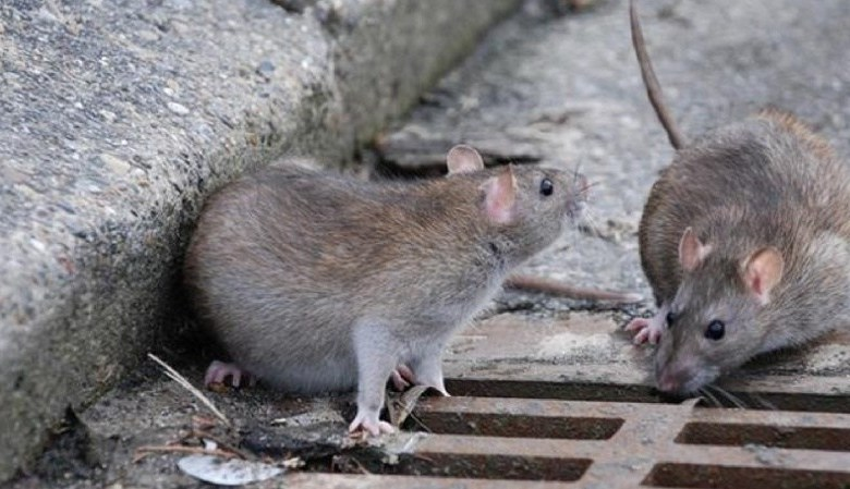 У Мукачеві в каналізаційній мережі водиться чимало щурів