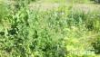На Виноградівщині виявили посів снодійного маку