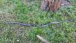 Заповзають у будинки та автомобілі: на Закарпатті зросла популяція змій