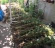 Поліція Закарпаття виявила незаконні посіви нарковмісної рослини
