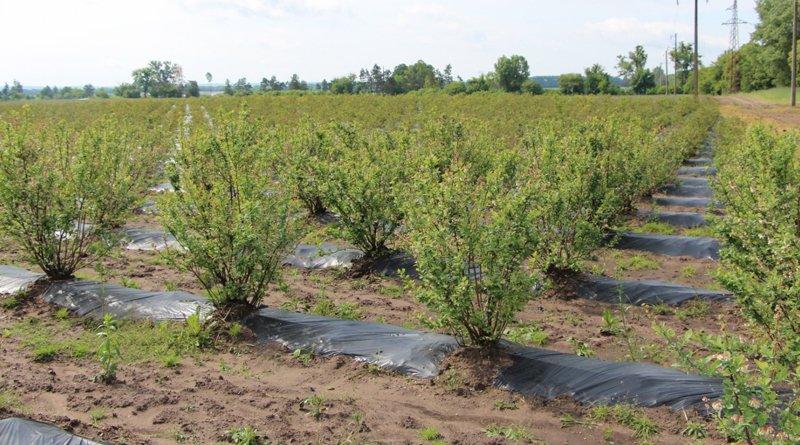 На Закарпатті знаходиться одна з найбільших плантацій лохини в Україні