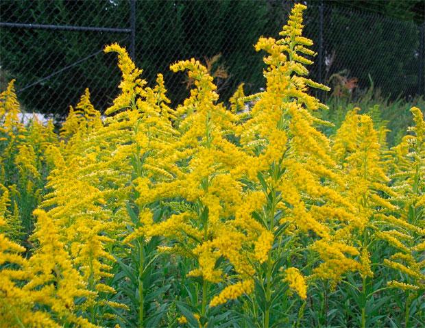 В 11-ти районах Закарпаття ввели карантинний режим через цвітіння потужного алергену – амброзії