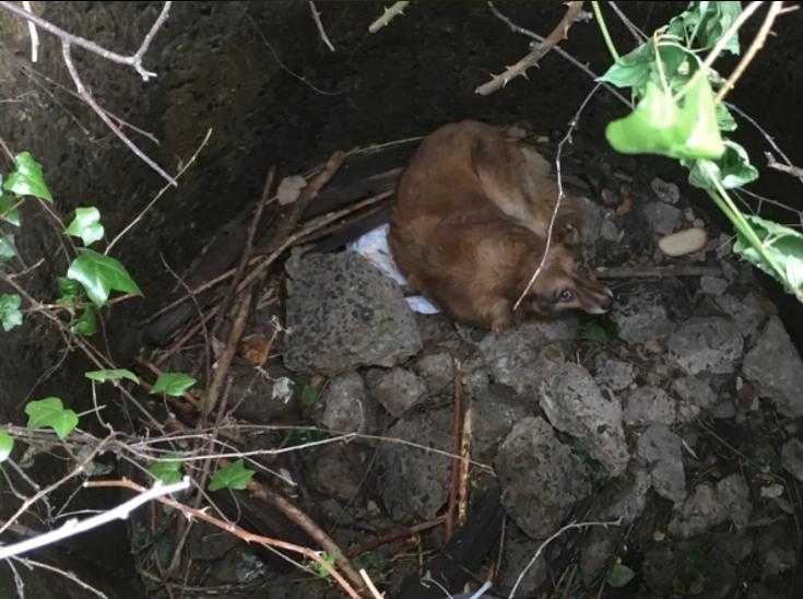 У Мукачеві врятували собаку, який впав у каналізаційний колектор