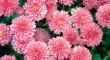 Квітковий бізнес: як закарпатці на хризантемах заробляють