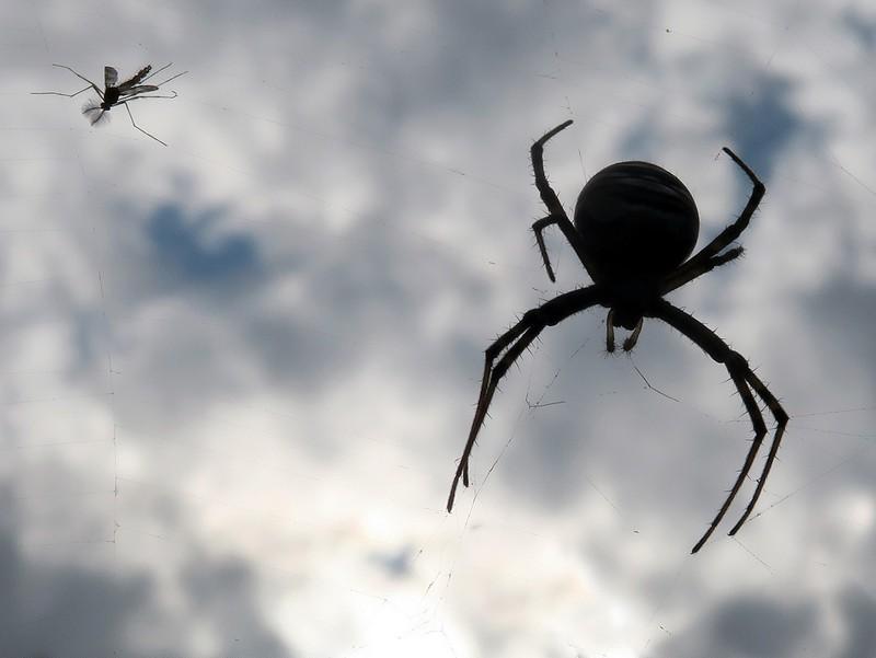 У мережі оприлюднили фото отруйного павука, якого помітили на Закарпатті