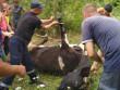Будні рятувальників: як на Берегівщині корову з каналізаційного люку рятували
