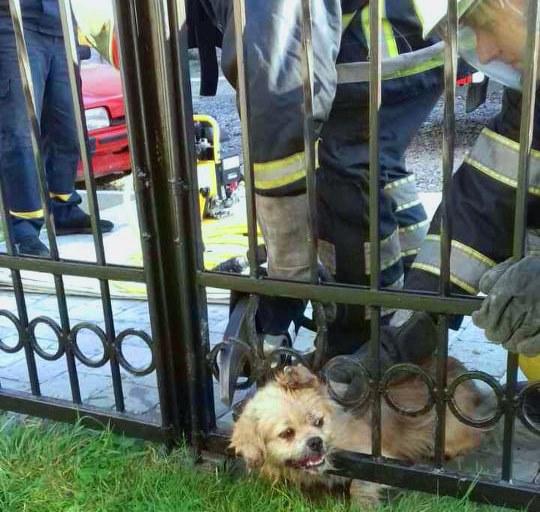 Рятувальники визволили собаку, який застряг у паркані