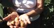 На плантації у Виноградові зібрана найбільша колекція екзотичних фруктів