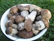 У лісах Закарпаття збирають щедрий грибний урожай